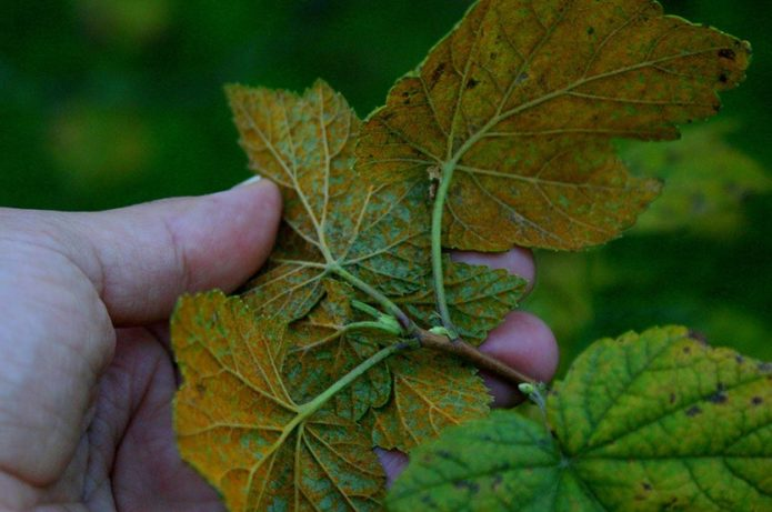 Листья смородины, поражённые столбчатой ржавчиной