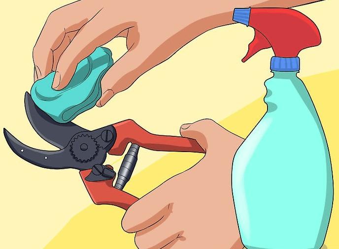 Обеззараживание секатора перед поведением обрезки
