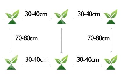 Схема посадки хрена