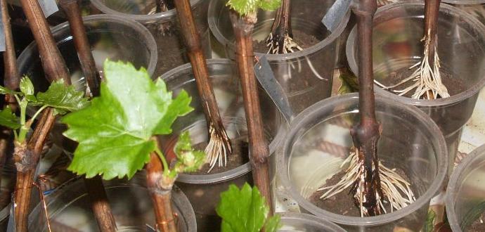 Укоренённые черенки винограда