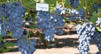 Сорт винограда Антрацит (Чарли)