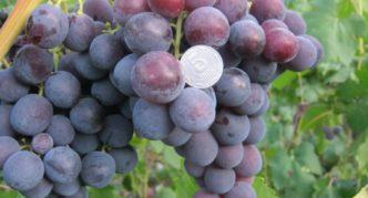 Сорт винограда Рошфор К