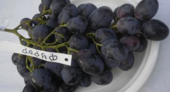 Сорт винограда Фурор