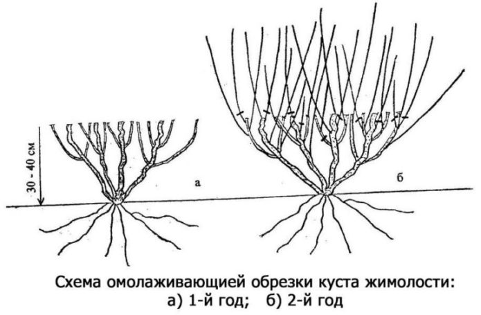 Схема омолаживающей обрезки