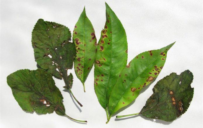 Листья персика и сливы, заражённые клястероспориозом