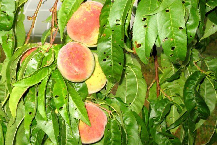 Дырчатая пятнистость на персиковом дереве
