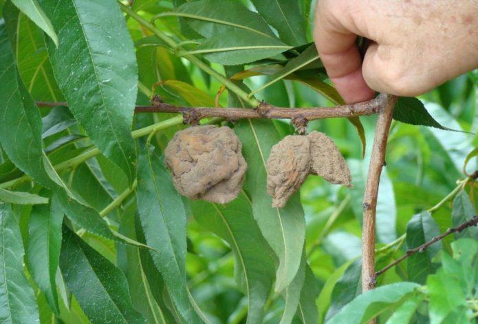 Монилиоз на плодах персика