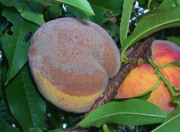 Монилиоз на плоде персика