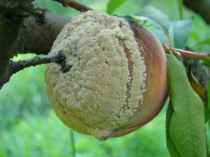 Плодовая гниль на персике