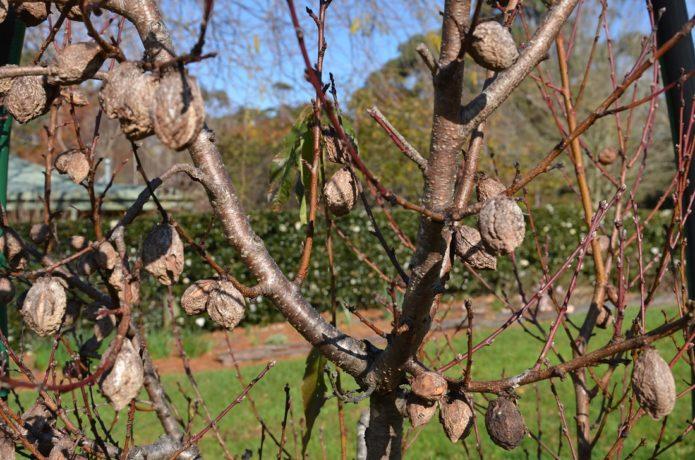 Мумифицированные плоды на дереве персика