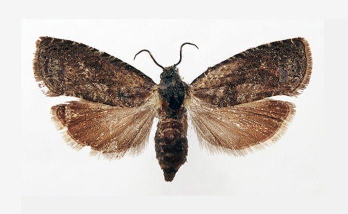 Бабочка восточной плодожорки