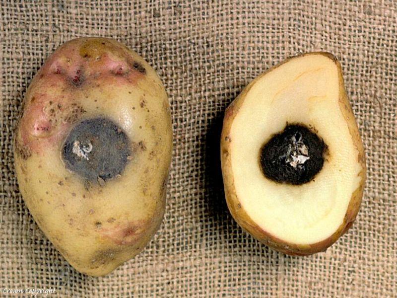 Гниль на картофеле - способы борьбы: сухая или мокрая, резиновая и прочие