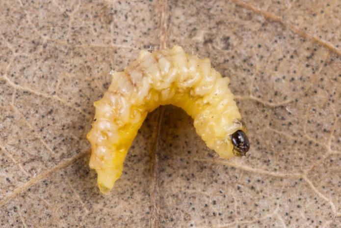 Личинка яблоневого долгоносика-цветоеда