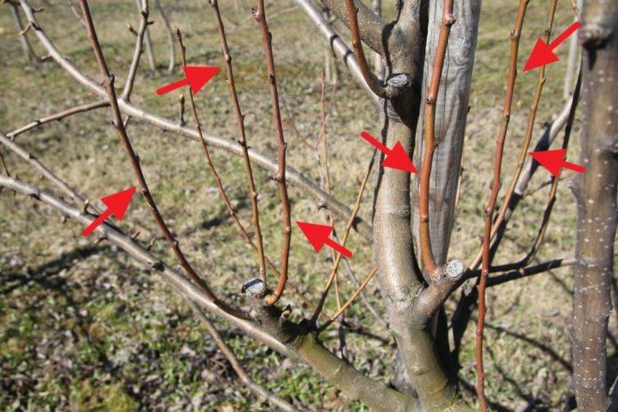 Побеги-волчки на дереве персика