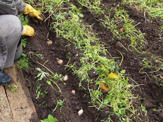 посадкка чеснока в сидераты