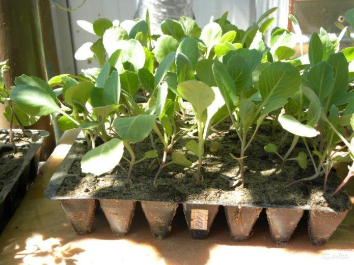 Освещение капусты