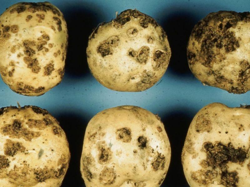 Парша картофеля — виды и способы борьбы