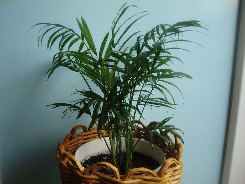 Хамедорея элеганс – посадка и уход за изящной пальмой в домашних условиях