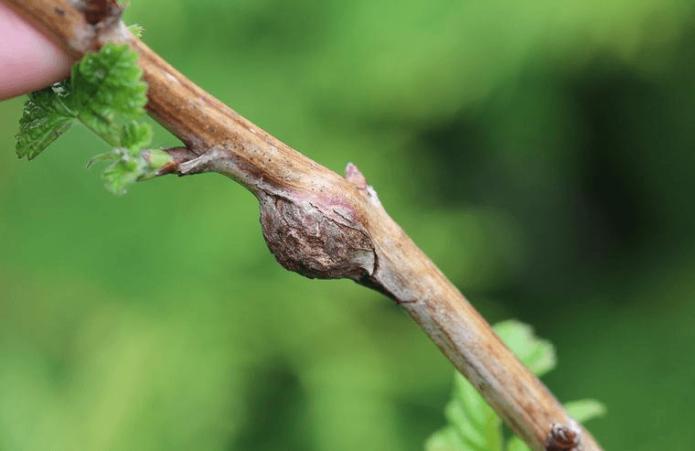 Стебель малины, поражённый малинной галлицей