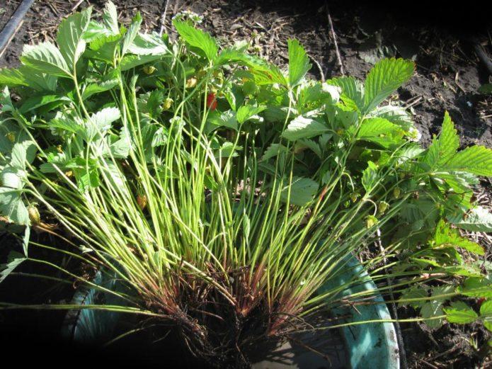 Взрослый куст садовой земляники