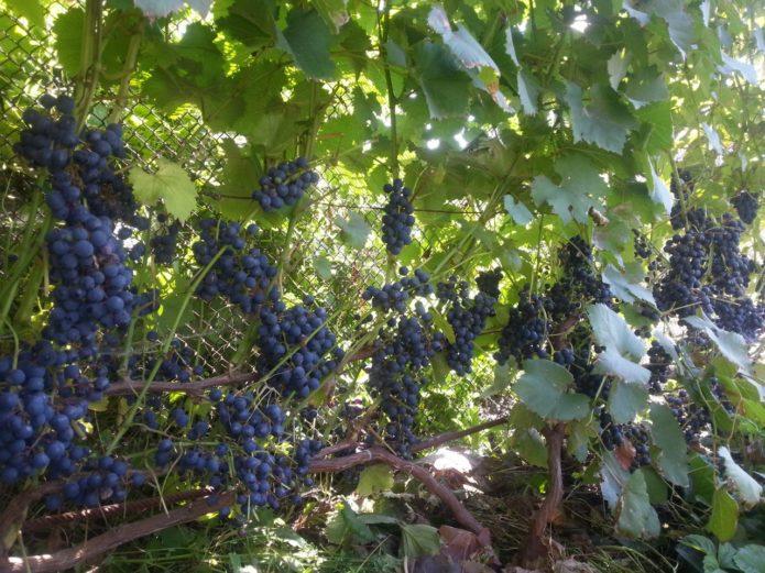 Виноград Голубок