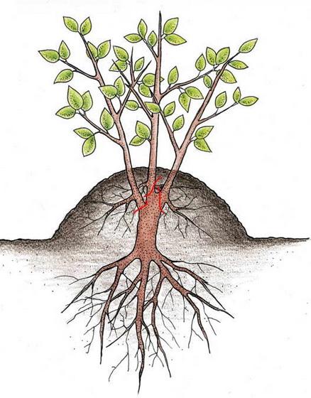 Схема размножения путём кардинальной обрезки