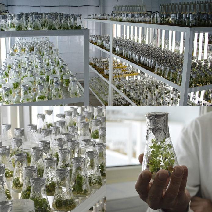Коллаж — лаборатория микроклонального размножения
