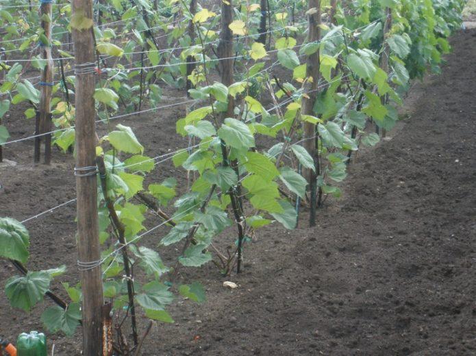 Подвойный сорт винограда Кобер 5ББ