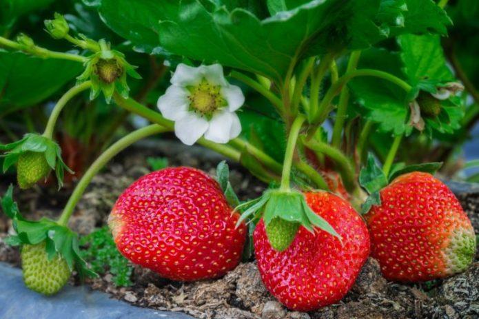 Клубника, или садовая земляника