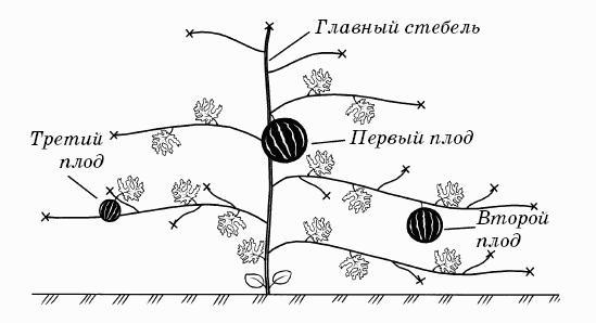 Схема формировки арбузно растения