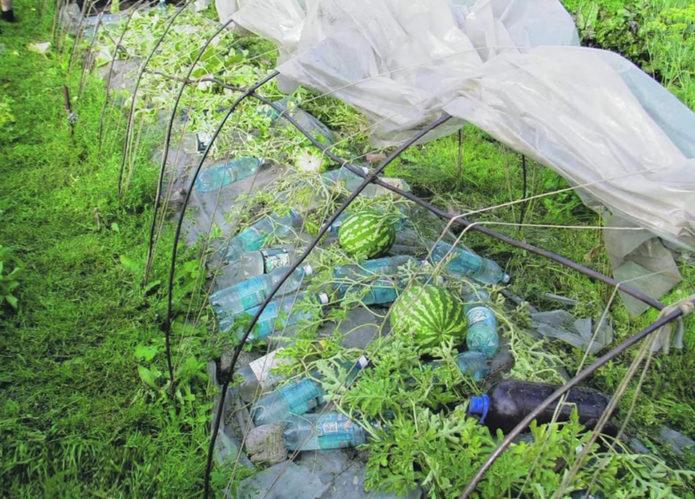 Арбуз посадка и уход в открытом грунте в средней полосе