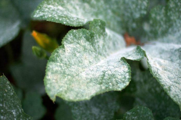 мучнистая роса на листе