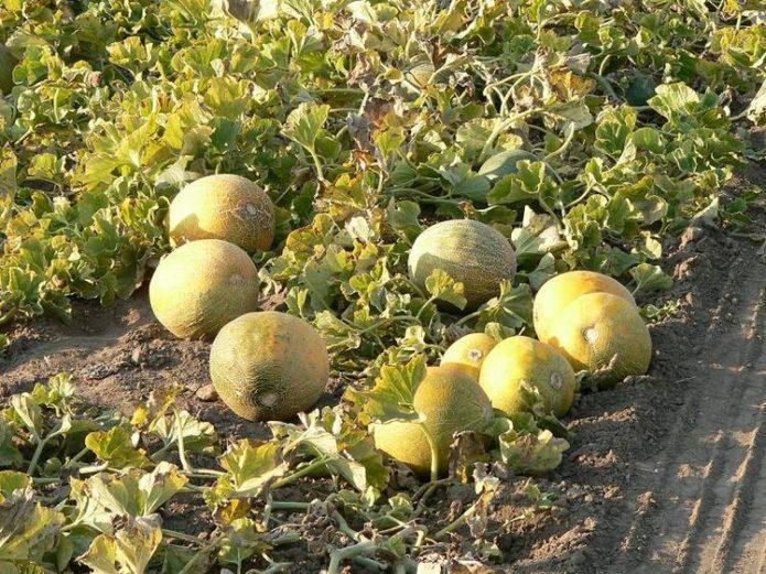 Посадка дыни в открытый грунт рассадой и семенами, пошаговая инструкция