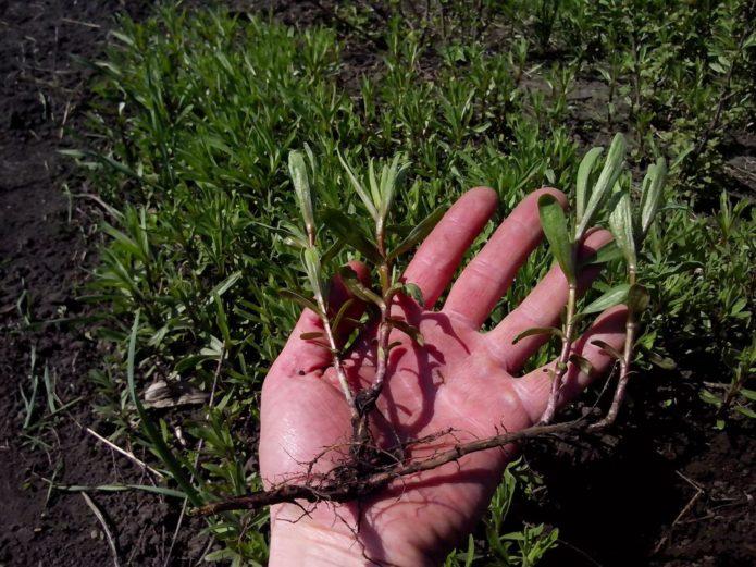 Растение тархун (эстрагон) посадка семенами и другими способами, выращивание этой травы и