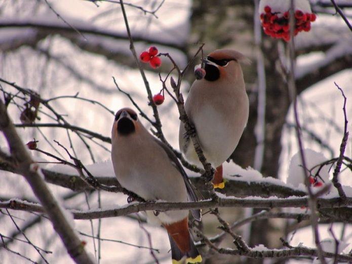 Птицы на ветке калины