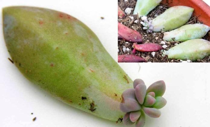 Размножение эхеверии листом