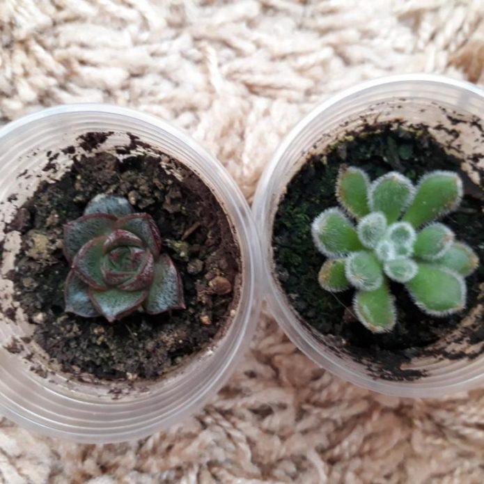 Эхеверия (каменная роза) – уход в домашних условиях, виды с фото, нюансы размножения