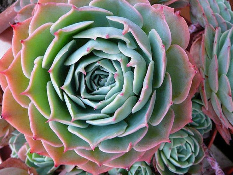 Эхеверия: разновидности и особенности выращивания каменной розы в домашних условиях