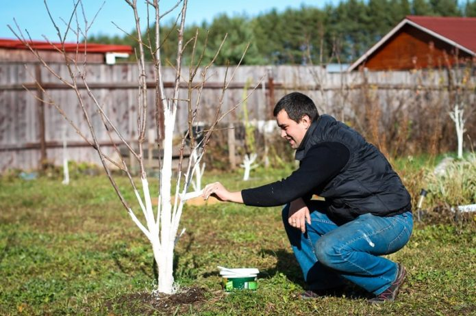 Побелка деревьев весной