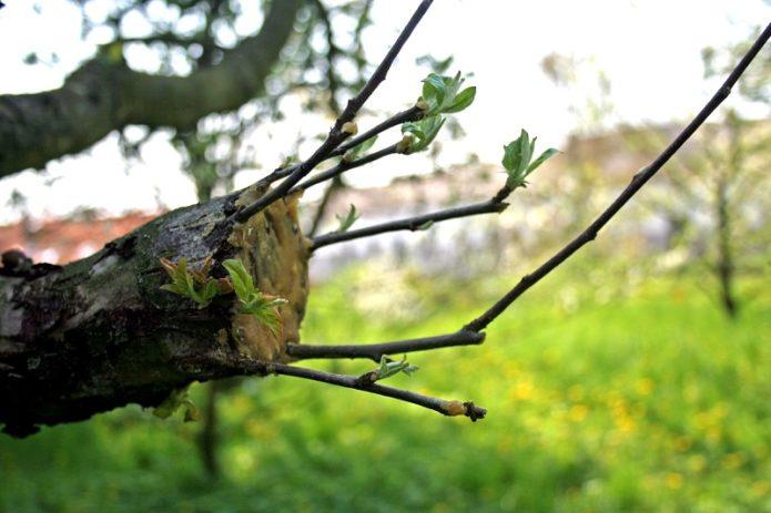 Обрезанное дерево пустило ростки