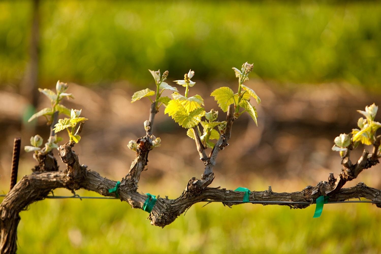 Прививка винограда для новичков: советы для начинающих