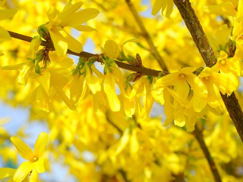 Форзиция – посадка и уход за жёлтыми пышными кустами в Подмосковье