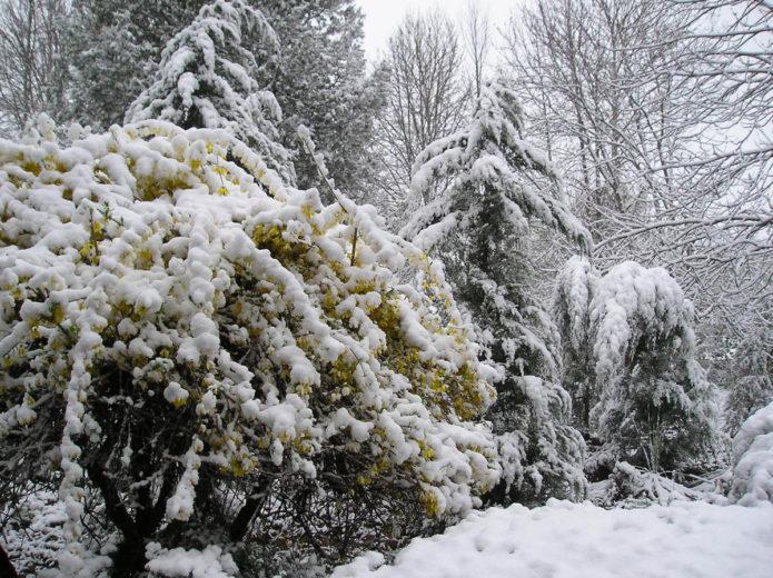 Форзиция и ели под снегом