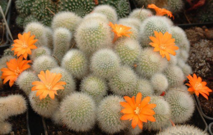 Кактус ребуция с оранжевыми цветами