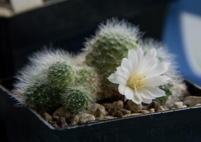 Ребуция с белым цветком