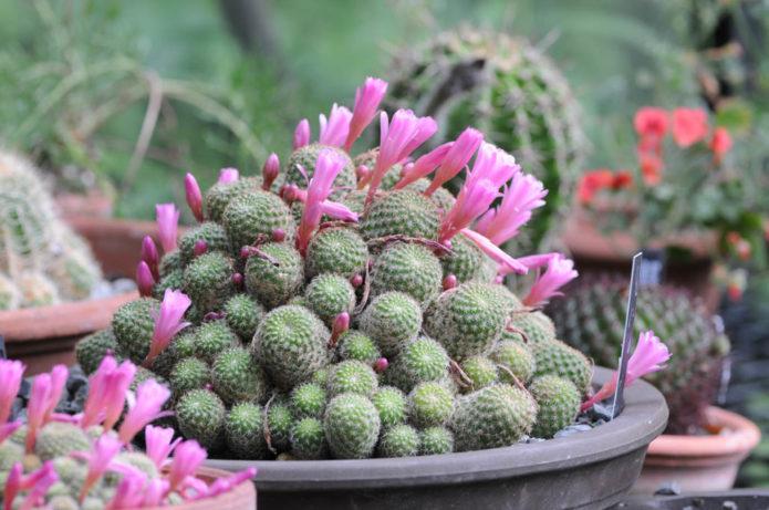 Кактус ребуция с розовыми цветами