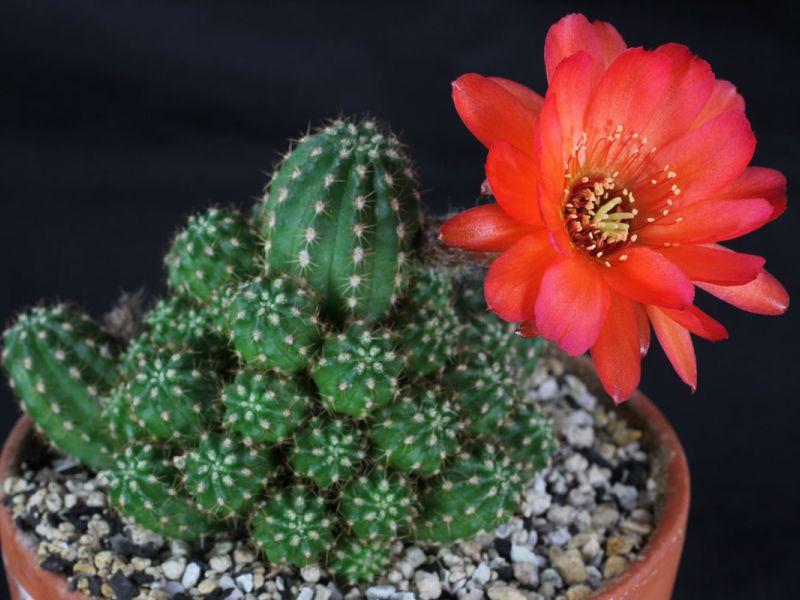 Необычайно красивый цветущий кактус эхинопсис – разнообразие видов и уход в домашних условиях