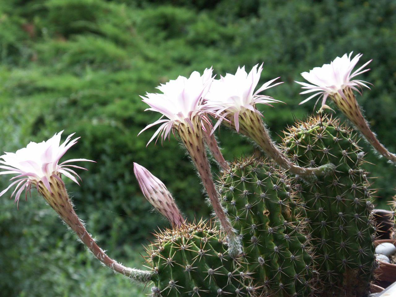 куст эхинопсис виды фото и названия листья, примеру