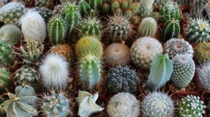 Разные виды домашних кактусов
