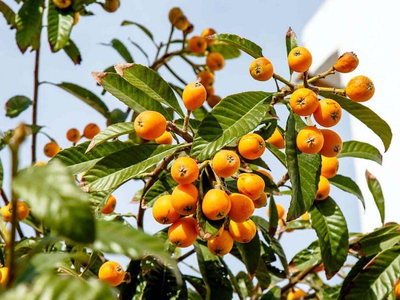 Мушмула: яркий заморский гость или привычныйфрукт в наших садах?